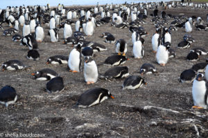 Bluff Cove Lagoon Gentoo Penguin Tour