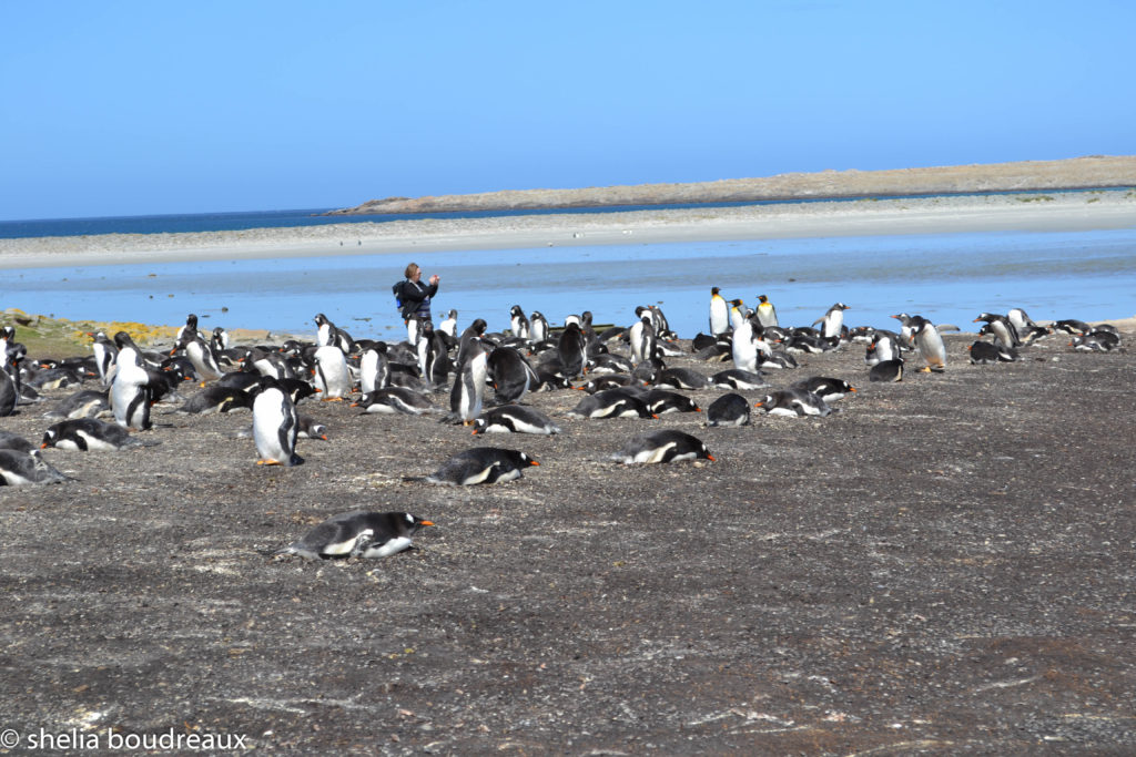 Bluff Cove Lagoon Penguins Gentoo