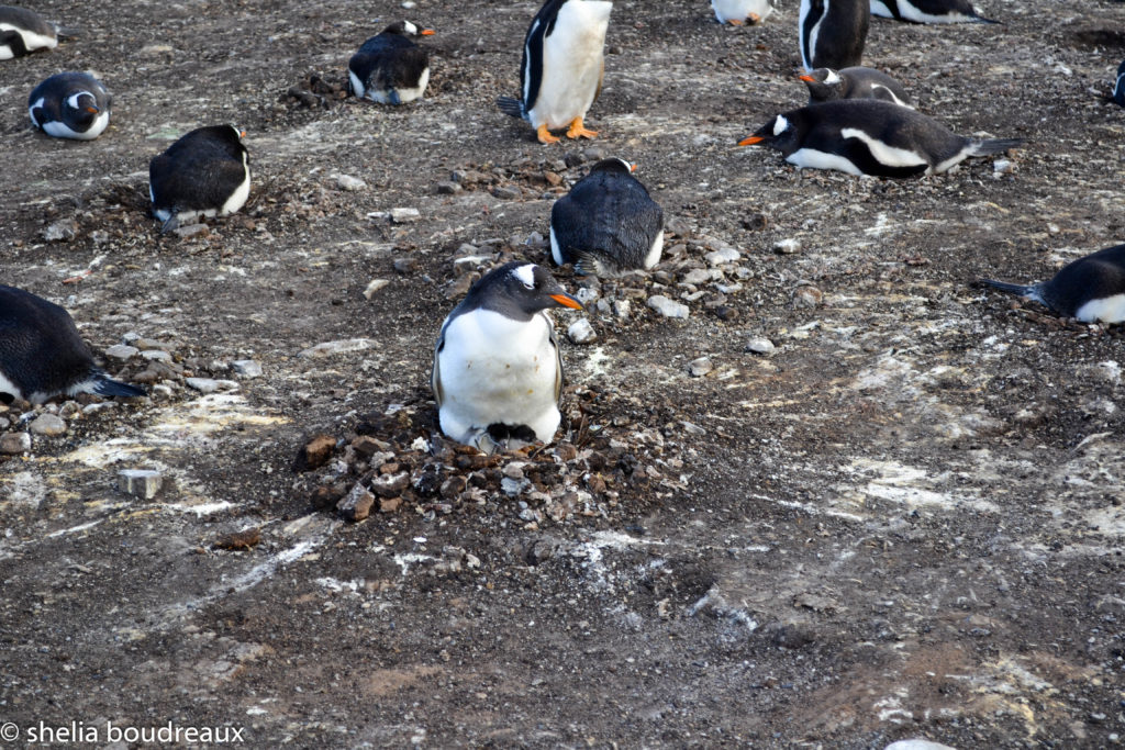 Falkland, Penguins, Lagoon Bluff