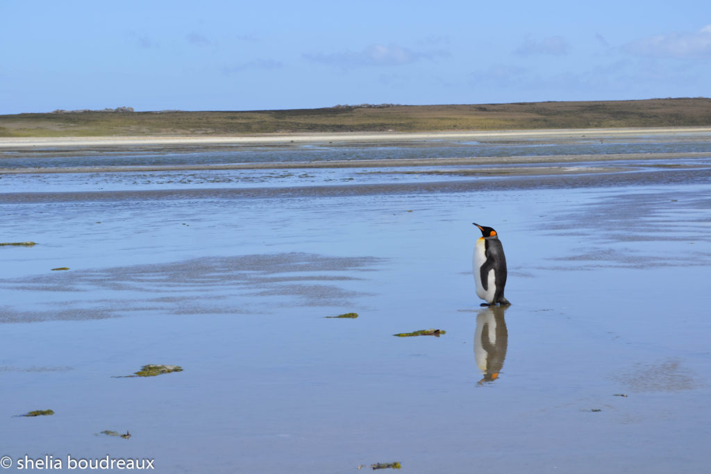 Stanley, Falkland Islands, Penguin, Buff Cove
