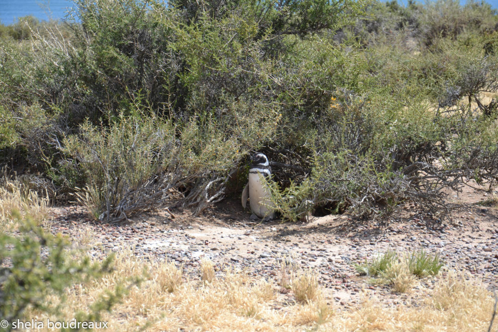 Penguins in Punta Tombo Nature Reserve, Argentina. Puerto Madryn